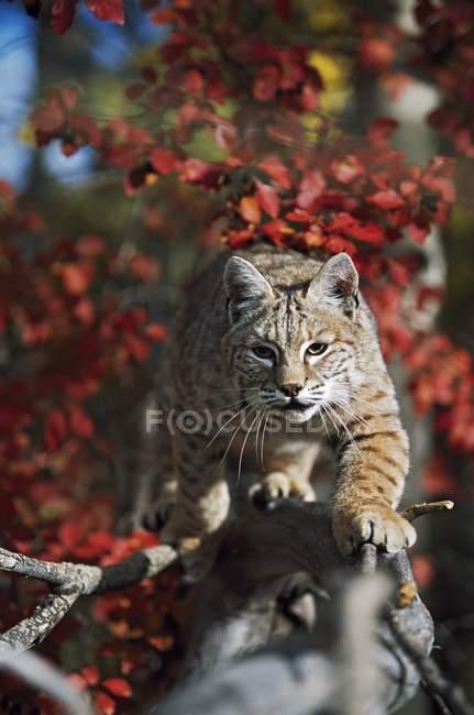 Bobcat прогулянки вздовж відділення через червоні листи — стокове фото