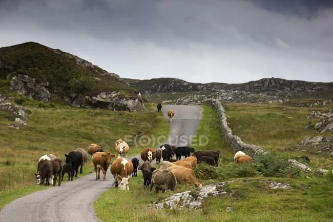 Vaches sur la route rurale — Photo de stock