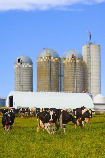 Bovini Holstein-friesian — Foto stock
