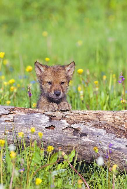 Вовк дитинча вдивляючись над журналу — стокове фото