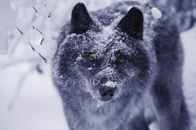 Одинокий волк в снегу — стоковое фото
