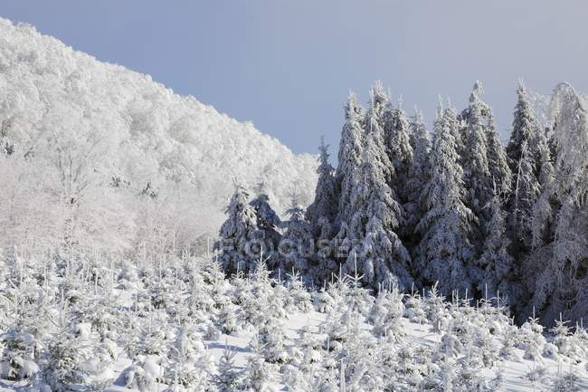 Сосны, снег covered — стоковое фото