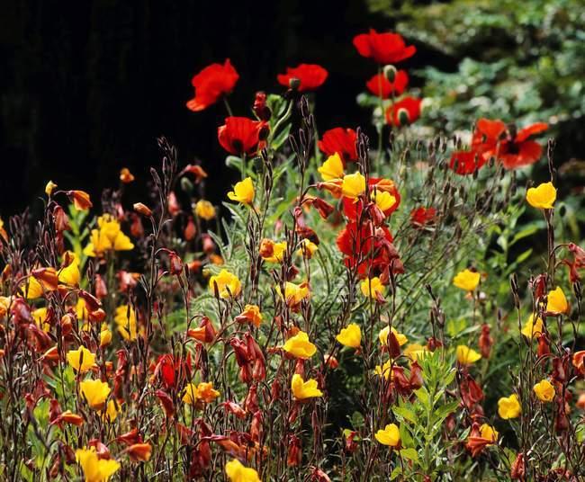 Poppies and  Evening Primrose — Stock Photo
