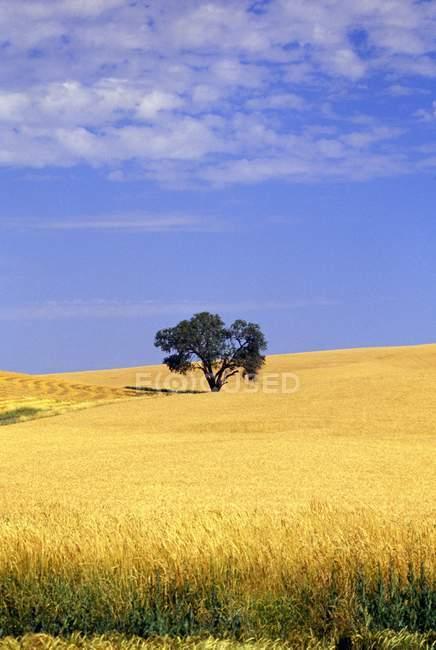 Roble en campo de trigo - foto de stock