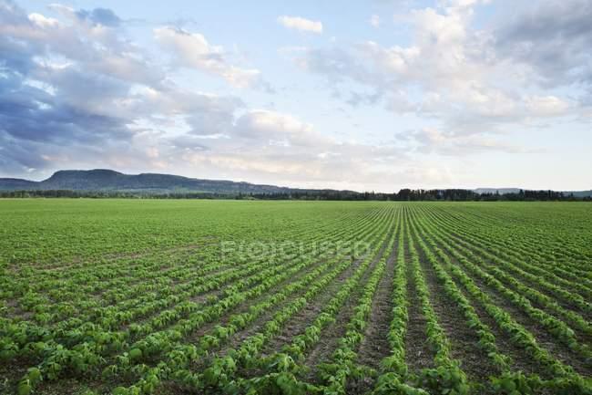 Campo di fagioli di soia — Foto stock
