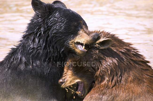 Bears In Water — Stock Photo