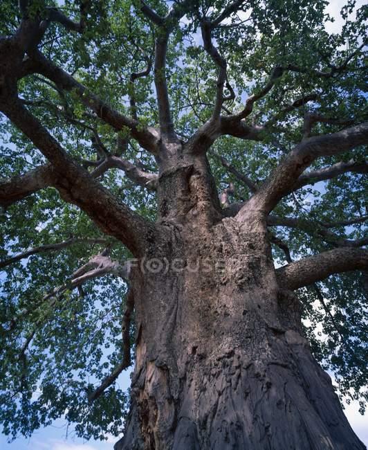 Большая елка и голубое небо. — стоковое фото