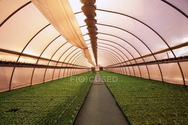 Planta comercial en invernadero - foto de stock