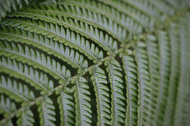 Closeup of green fern frond, background — Stock Photo