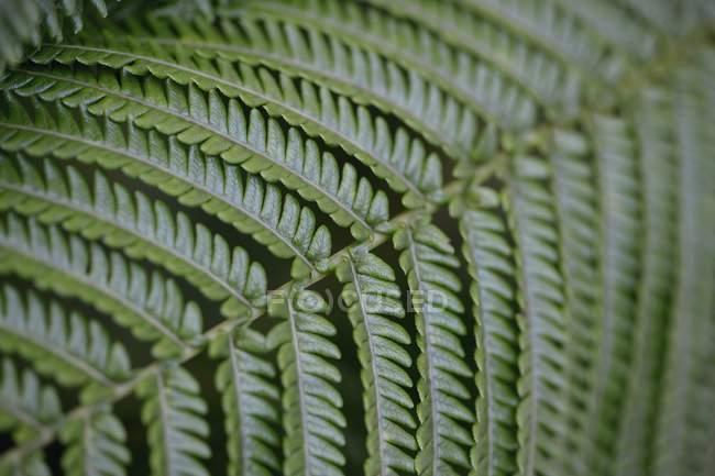 Nahaufnahme von grünem Farn Wedel, Hintergrund — Stockfoto