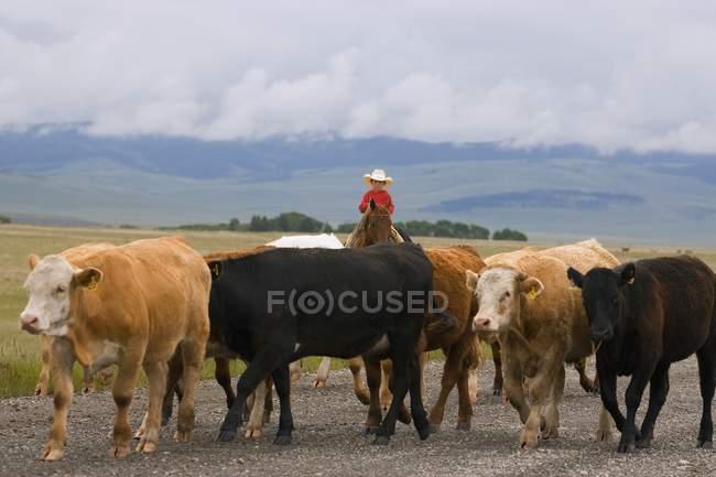 Cowboys Herding Cattle — Stockfoto