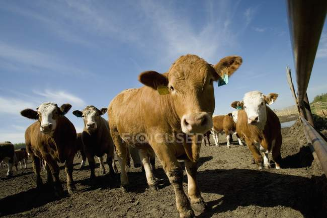 Troupeau de bétail sur sol — Photo de stock