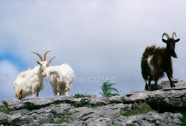 Cabras de montaña en el borde - foto de stock