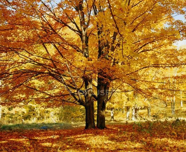 Сахарный клен дерево в осень — стоковое фото