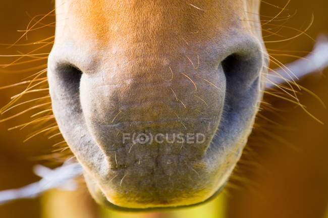 Nahaufnahme der Pferdenase — Stockfoto