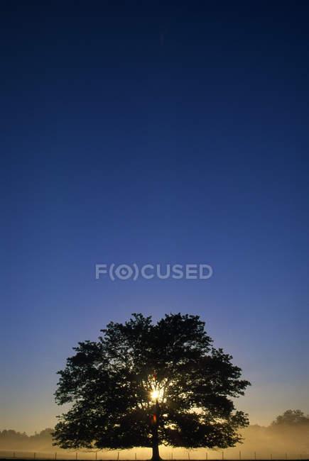 Eiche mit Starburst — Stockfoto
