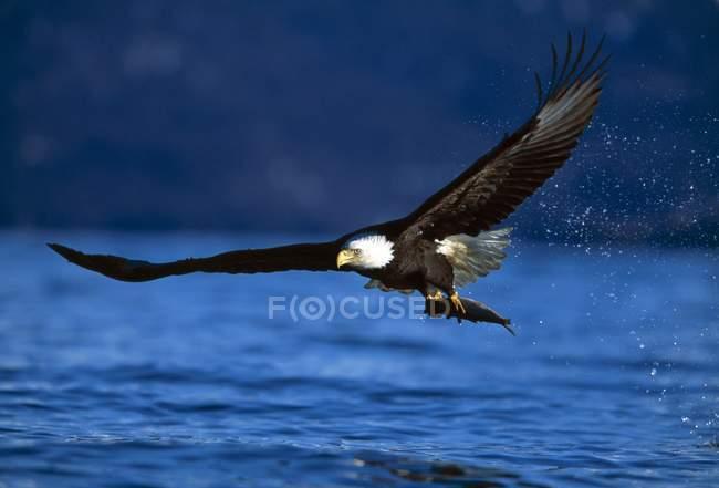 Облыселый орел сжимая рыбы — стоковое фото