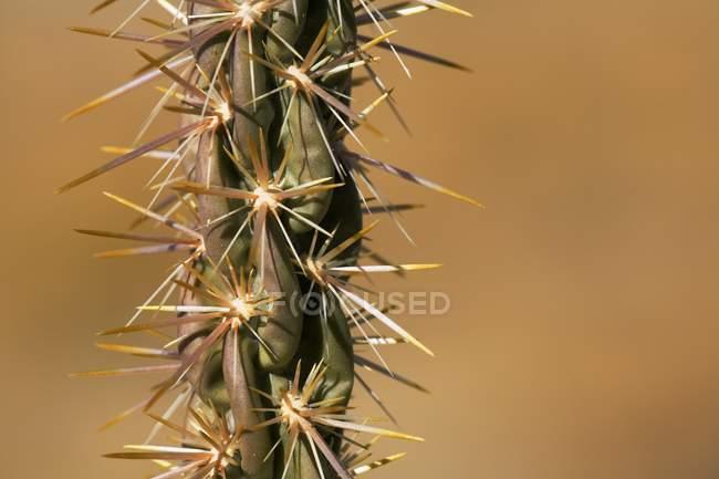 Detalhe de cactos cholla — Fotografia de Stock