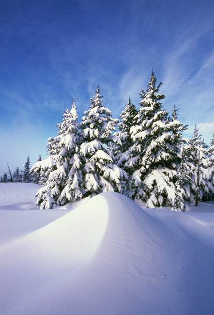 Snow-Covered Pine Trees — Stock Photo