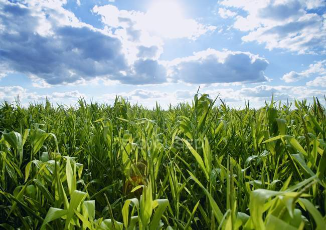 Field Of Growing Corn — Stock Photo