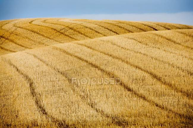 Campo de trigo cosechado - foto de stock