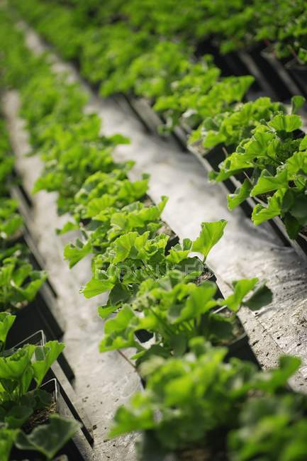 Kommerziell angebauten Pflanzen — Stockfoto