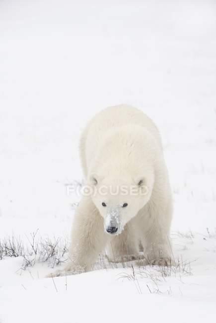 Молодий білий ведмідь — стокове фото