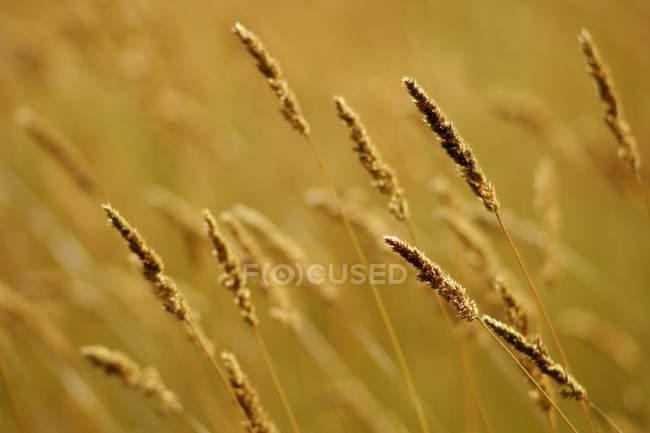 Weizen im freien Feld — Stockfoto