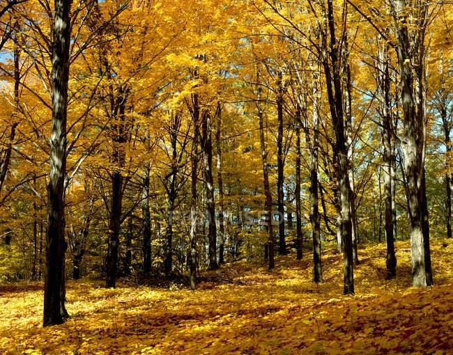 Arbres dans la forêt d'automne — Photo de stock