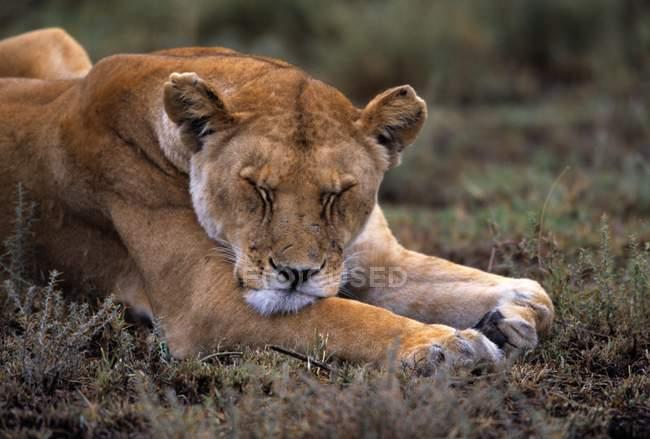 Спляча левиця на підставі — стокове фото