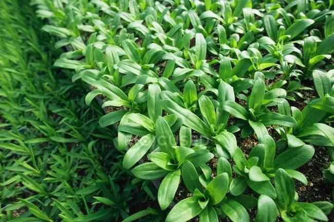 Вирощеного рослин — стокове фото