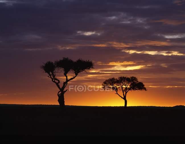 Acacia Árboles contra el cielo - foto de stock