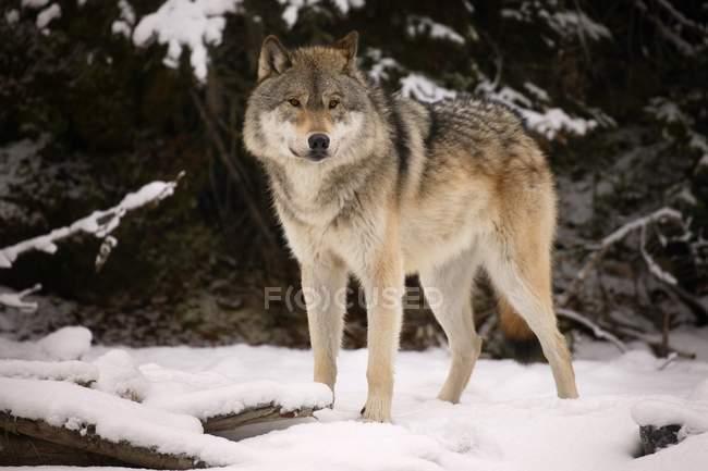 Волк стоя на снегу — стоковое фото