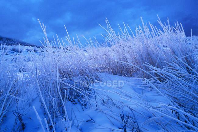 Grama alta no inverno — Fotografia de Stock