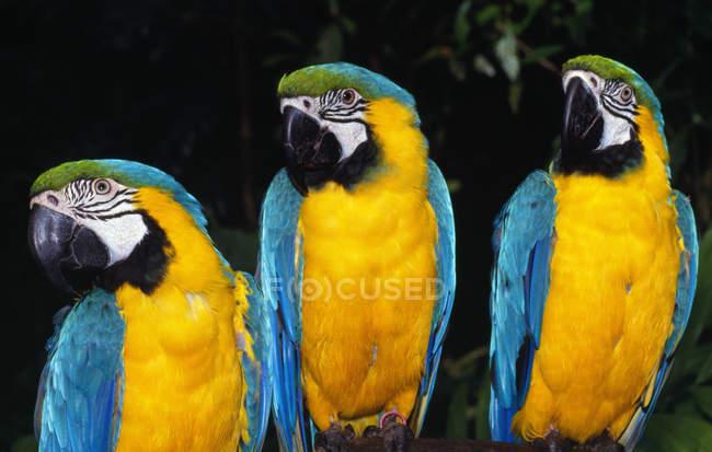 Три попугая на тёмном фоне — стоковое фото