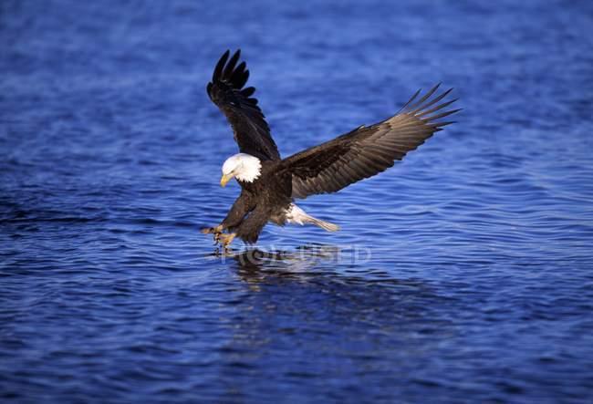Águila calva atrapar peces - foto de stock