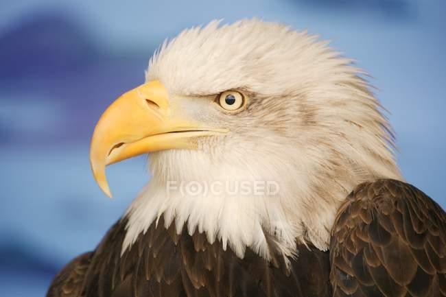 Perfil de águila calva - foto de stock