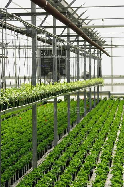 Комерційні рослинництва в теплиці — стокове фото