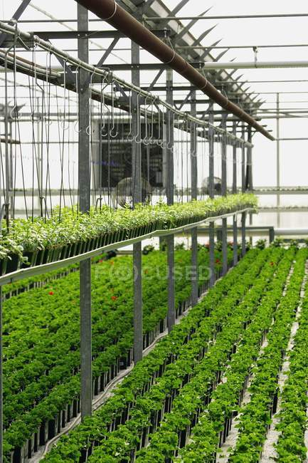 Commercial Plant Cultivation In Greenhouse — Stock Photo