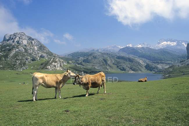 Vacche al pascolo al Lago De La Ercina — Foto stock