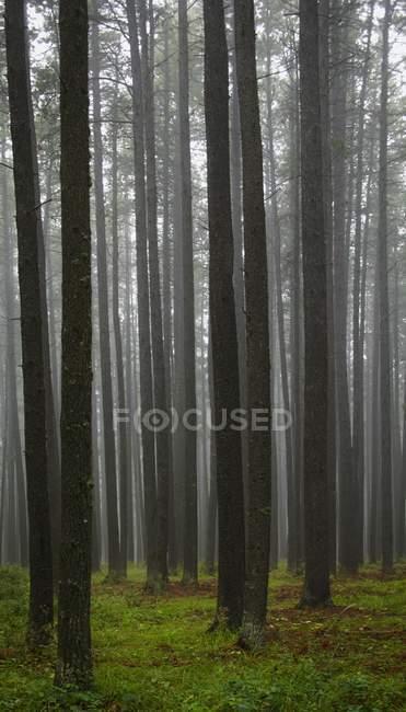 Vue à l'intérieur de la forêt avec brouillard — Photo de stock