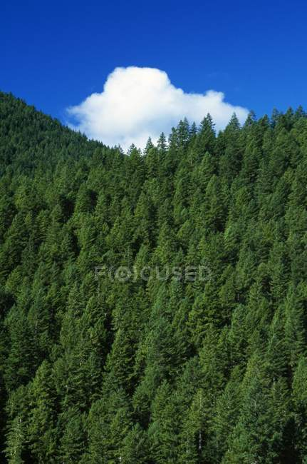 Evergreen Forest com céu — Fotografia de Stock