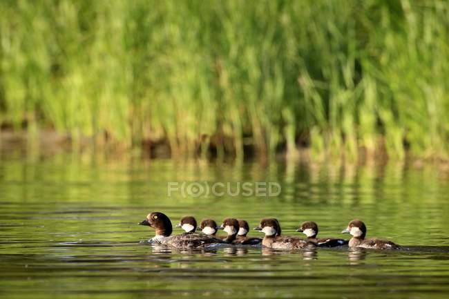 Famiglia di anatre nuoto — Foto stock