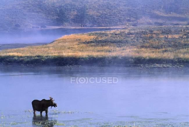 Elch steht im Fluss — Stockfoto