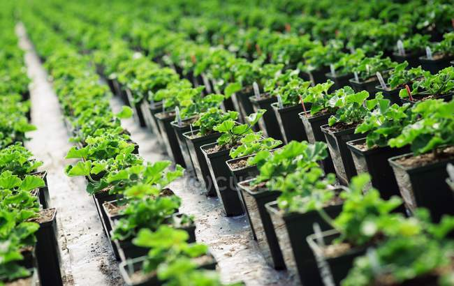 Geranios creciendo en vivero de plantas, enfoque selectivo - foto de stock