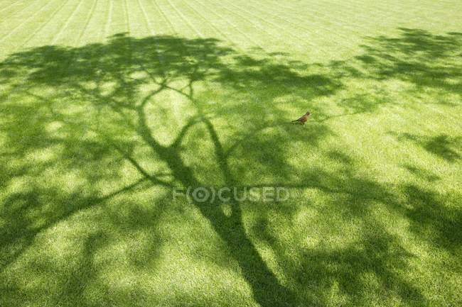 Robin sur une ombre d'arbre — Photo de stock