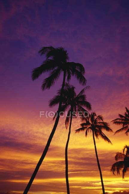 Palm Tree Silhouettes — Stock Photo