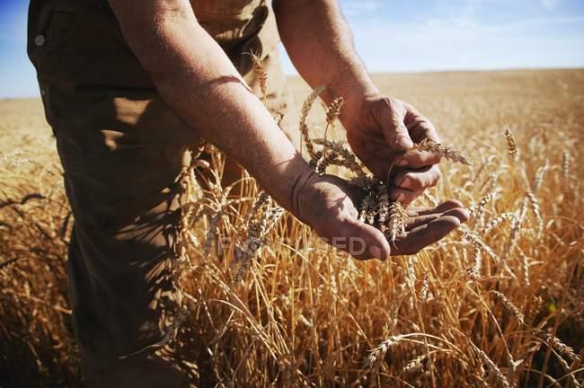 Farmer Holding Grain — Stock Photo