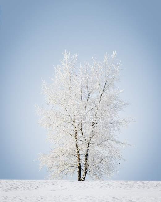 Neve árvore coberta — Fotografia de Stock