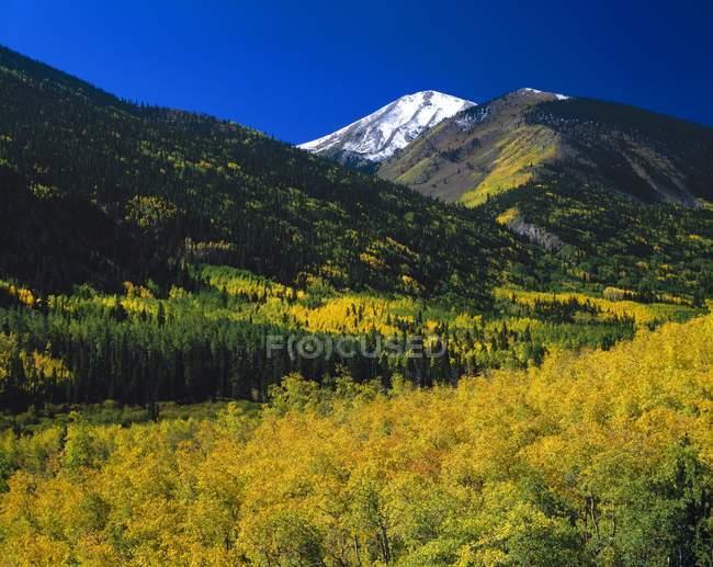 Peupliers en couleur d'automne — Photo de stock